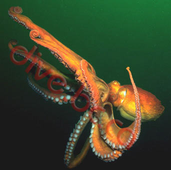 http://dive.bc.ca/pictures/octo/octopus.jpg